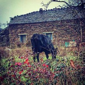 Vaca en la Arren grande
